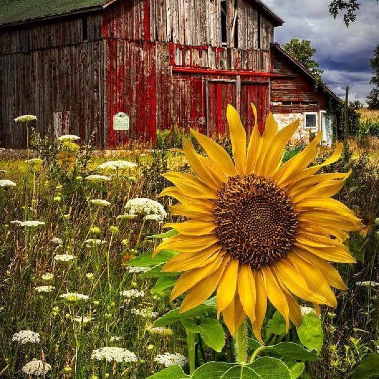 Sunflowers are one of the happiest flowers, don't you think so?
